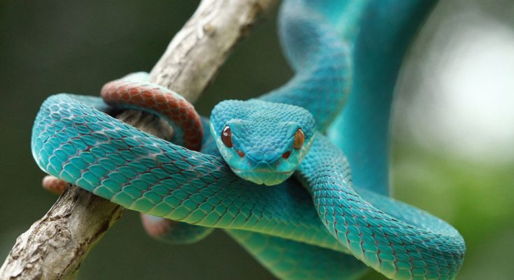 Kundalini Serpent